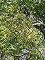 Azadirachta indica - Neem at Tenkasi 2014 (7).jpg