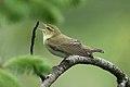 Bøksanger (Phylloscopus sibilatrix) Wood Warbler.jpg