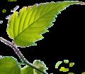 BGTransp L Kerria japonica leaf.png
