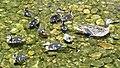 BYU ducks (42425357131).jpg