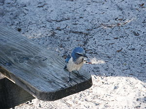 Aphelocoma - Juvenile Florida scrub jay at Blue Spring State Park, Florida