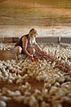 Baby chickens in a grower broiler house. (24744460509).jpg