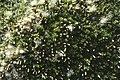 Baccharis magellanica.jpg