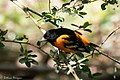 Baltimore Oriole (male) Smith Oaks High Island TX 2018-04-11 13-44-43 (26941304917).jpg