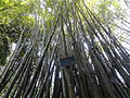Bambusa eutuldoides taken in Fuzhou.JPG