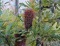 Banksia serrata branch.jpg