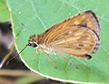 Baracus vittatus - Hampson's Hedge-Hopper.jpg
