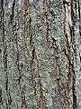 Bark of Italian hybrid elm cultivar Ulmus 'Plinio'.jpg