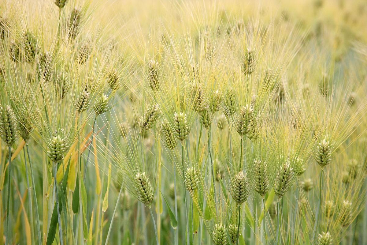 Barley (Hordeum vulgare) - United States National Arboretum - 24 May 2009.jpg
