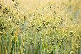 Barley - Barley