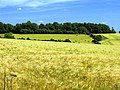 Barley growing on farmland near Aldworth and Compton - geograph.org.uk - 20752.jpg