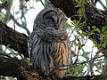 Barred Owl sleeping during the day.JPG