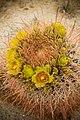 Barrel cactus (13496422593).jpg
