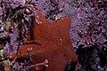 Bat Star (5381981307).jpg
