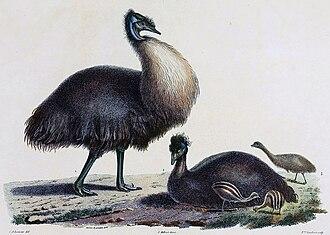Kangaroo Island emu - Image: Baudin emus