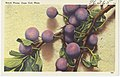 Beach Plums, Cape Cod, Mass.jpg