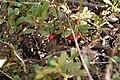 Bearberry-uva-ursi.jpg
