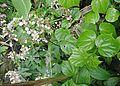 Begonia (18157300986).jpg