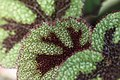 Begonia (2).jpg