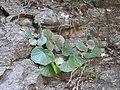 Begonia floccifera-3-mundanthurai-tirunelveli-India.jpg