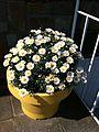 Belgian Spring Flowers.JPG