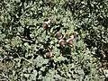 Bellotas de Quercus rotundifolia.jpg