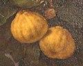 Bergamotta scannellata - Bartolomeo Bimbi, arance, bergamotti, cedri, limoni e lumie, 1715.jpg