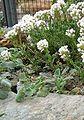 Berne Botanic garden Coluteocarpus vesicaria.jpg