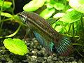 Betta imbellis (male) 20100512.jpg