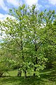 Betula schmidtii - Morris Arboretum - DSC00366.JPG