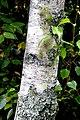 Betula szechuanica in Auckland Botanic Gardens 01.jpg