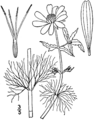 Bidens beckii drawing 01.png