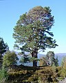 Big Scots Pine in Guisachan Forest - geograph.org.uk - 863657.jpg
