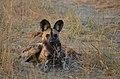 Big ears (8096121357).jpg