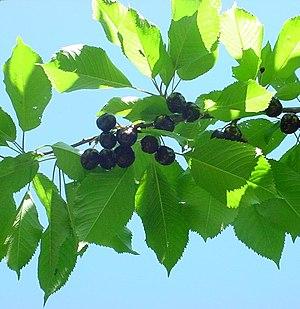 Bing cherry - Branch of a Bing cherry tree