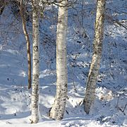 Birch trunks in snow and sunshine - 2.jpg