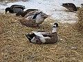 Bird Flock - 1 - A Portrait of Duck Butts (5449568215).jpg