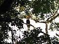 Bird Great Hornbill Buceros bicornis IMG 8659 18.jpg