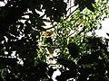 Bird Great Hornbill Buceros bicornis IMG 8659 32.jpg