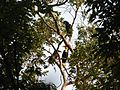 Bird Wreathed Hornbill Rhyticeros undulatus IMG 9195 (11).jpg