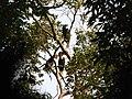 Bird Wreathed Hornbill Rhyticeros undulatus IMG 9195 (19).jpg