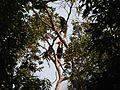 Bird Wreathed Hornbill Rhyticeros undulatus IMG 9195 (22).jpg