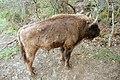 Bisontes europeos (30 de abril de 2018, Reserva y Centro de Interpretación del Bisonte Europeo de San Cebrián de Mudá) 06.jpg