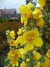 Blüte Kleinblütige Königskerze.JPG