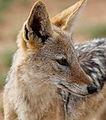 Black-backed jackal, Canis mesomelas, at Pilanesberg National Park, South Afric (17106536547).jpg