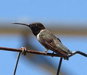 Black-chinned Hummingbird. Archilochus alexandri. Male - Flickr - gailhampshire (2).jpg