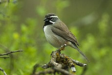 Black-throated Sparrow - Texas - USA H8O3133 (22764438333).jpg