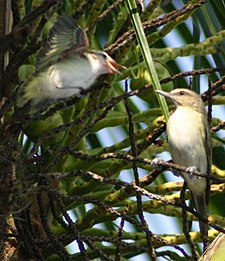 Black-whiskered Vireo.jpg