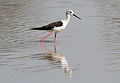 Black-winged Stilt, Common Stilt, or Pied Stilt, Himantopus himantopus at Mapungubwe National Park, Limpopo, South Africa (18202408171).jpg