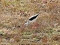 Black-winged Stilt (Himantopus himantopus) (29880190001).jpg